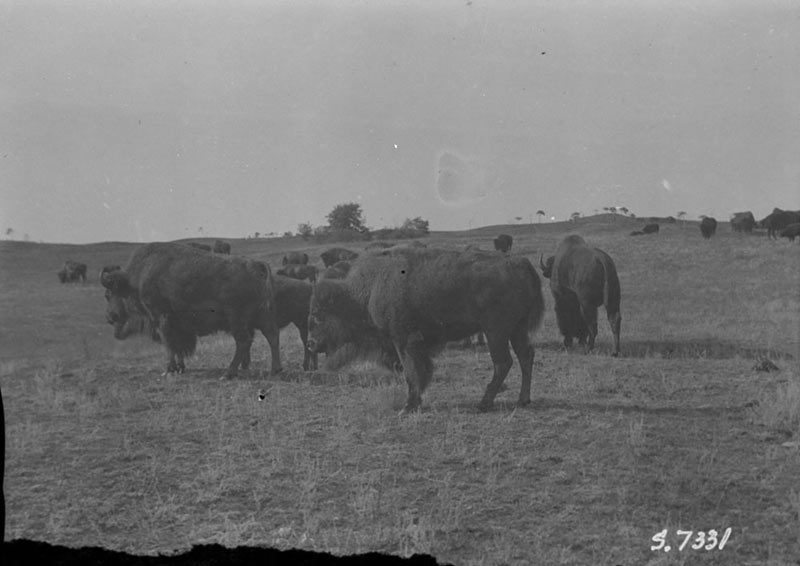 A herd of buffalo scattered across a prairie hillside, 1923.
