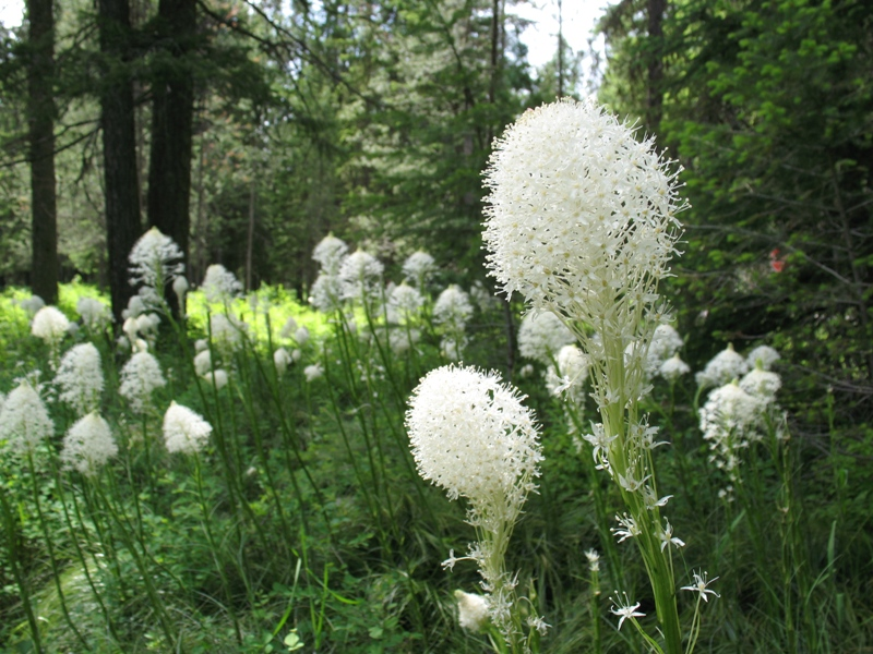 A sunny field of flowering Xerophyllum Tenax, or Bear Grass, with small densely packed white flower buds.