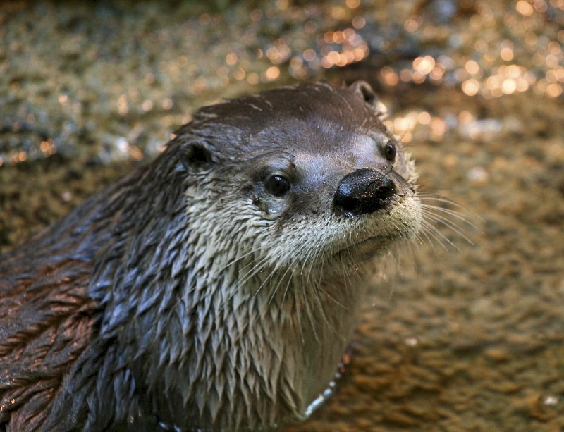 Modern photo of a sea otter in the wild, partially submerged in water and looking towards the camera.