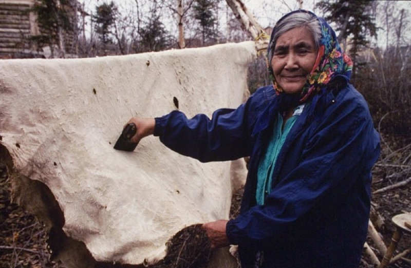 An elderly woman uses a bladed wedge tool for scraping a hanging caribou hide, at N'dilo Cultural Camp.