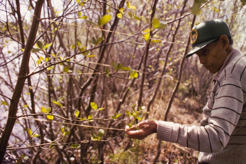 An elderly man in green baseball cap shows drying babiche tied off on trees in the Northwest Territories.
