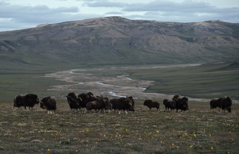 A herd of wild muskox stand in a barren landscape of mountainous tundra near the archaeological site.