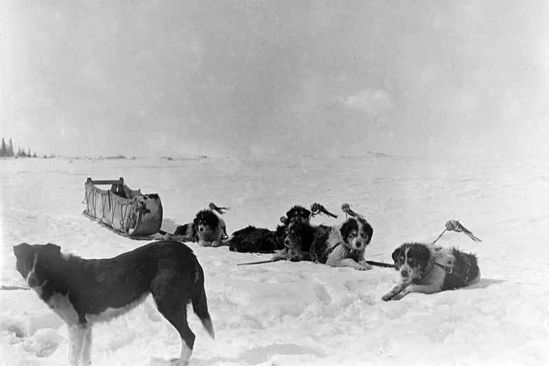 A dog sled team in an empty snowy landscape from the early 20th century in the Northwest Territories.
