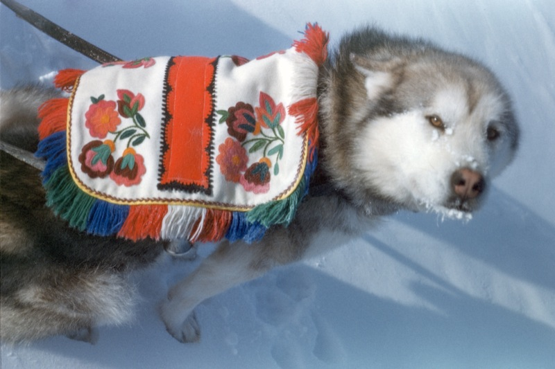 A grey husky wears a colourful floral blanket and harness on back while working in northern Saskatchewan.