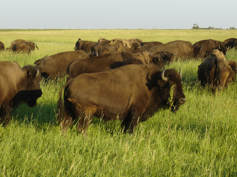 A lush prairie field with a small herd of live buffalo in the foreground.