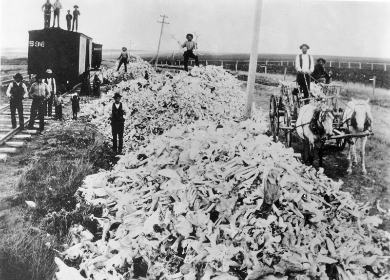 Historic 19th century photo of several enormous piles of buffalo bones prepared for shipment.