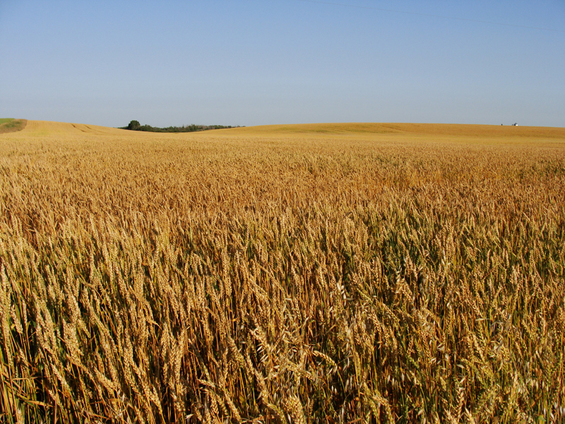 A lush prairie field on a sunny day, golden wheat stretching to a the horizon and a distant farmhouse.