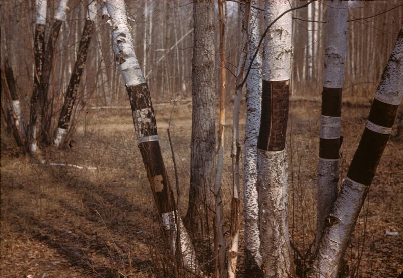A forest scene showing stripped white birch trees, Saskatchewan's provincial tree.